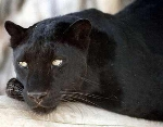 Black leopards were popular pets in the 1960s. Picture: NEIL ARNOLD/ KENT BIG CAT RESEARCH