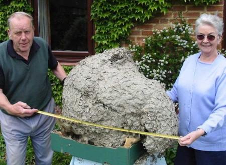 Monster Wasps Nest Found Lurking In Loft