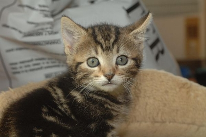 Cats Protection League Kittens Kent