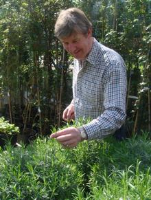 Roger Platts checks the lavender plants