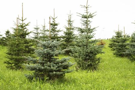 Christmas trees being grown (file picture)