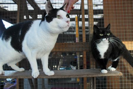 Judas the giant cat towers over other moggies at the rescue centre