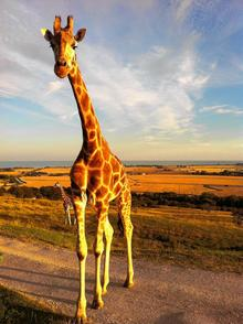 Giraffes roam free at Port Lympne's 600-acre African safari experience Picture: The Aspinall Foundation