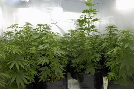 Police uncovered more than 500 cannabis plans on a raid in Hastingleigh