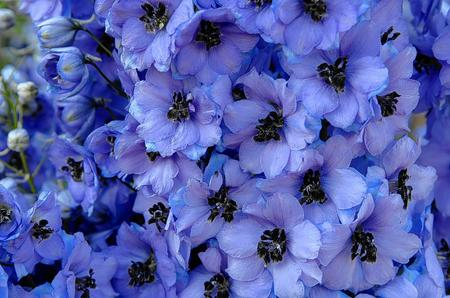 The beautiful delphiniums at Godinton House and Gardens