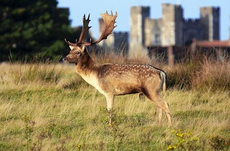 Fallow stag at Knowle Park