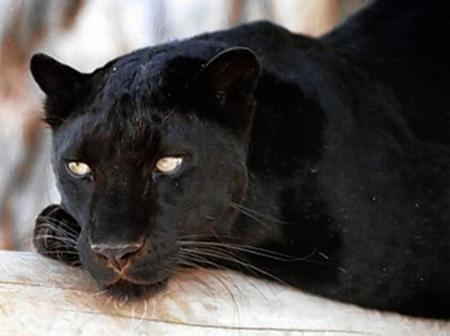 A black leopard has been seen several times on Sheppey