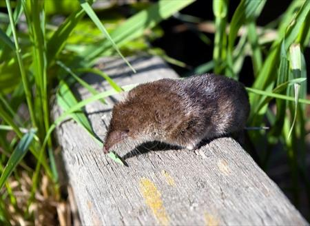 A pygmy shrew, similar to the one found in Maidstone's Mote Park
