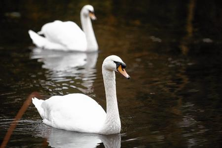 Swans at Manor Park, West Malling.