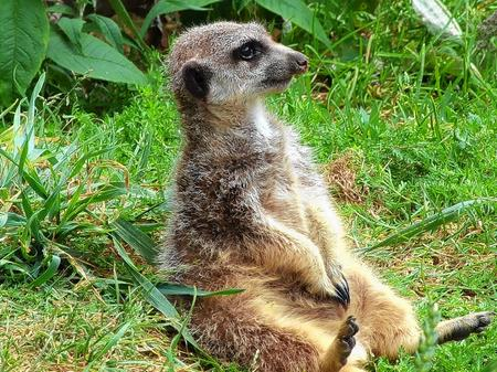 Meerkat at Wingham Wildlife Park Picture: Mike Hanagan