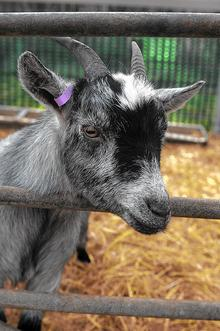 One of the goats at the Rare Breeds Centre