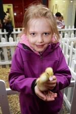 Sophie Clark, seven, with a chick from the Reindeer Centre