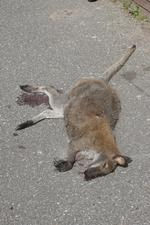 Wallaby hit by motorist Kate Scorey as she was driving home in the dark.