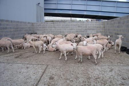 Sheep from a lorry deemed unfit to travel at the Port of Ramsgate