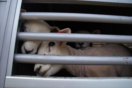 Sheep peer through bars of a lorry from which dozens died at the Port of Ramsgate