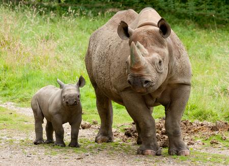 A baby black rhino out and about at Port Lympne. Picture: Dave Rolfe