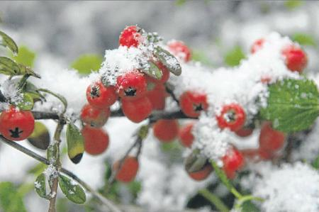 Snow on berries in Whitstable
