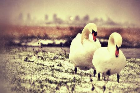 Swans photographed at Bartons Point Coastal Park in Sheerness by Adam Heasman