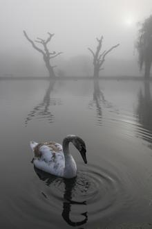 Swan by Jason Steel. Kent Wildlife Trust photography competition.