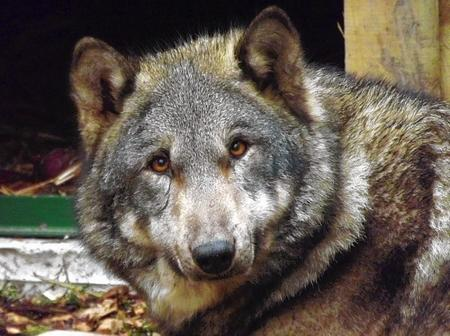 European Wolves arrive at Wingham Wildlife Park