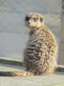 Meerkat at Wingham Wildlife Park