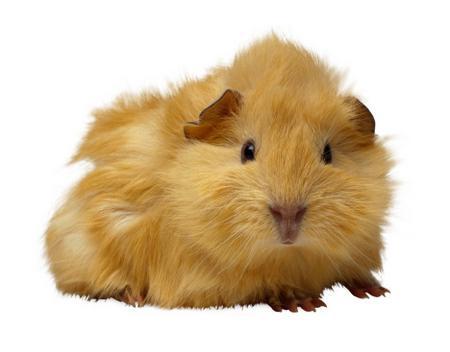 A guinea pig.