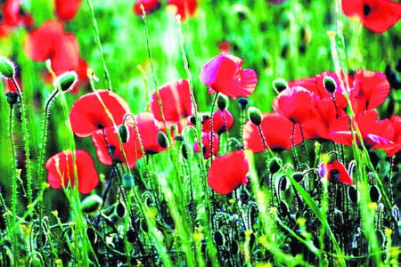 Red blush poppies