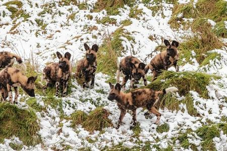 African Painted dogs pups settle in at Port Lympne. Picture: Dave Rolfe.