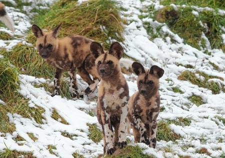African Painted dogs pups settle in at Port Lympne.