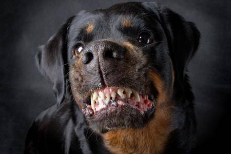 Rottweiler file picture