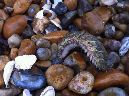 A sea mouse spotted off the Kent coast by Julie Sherrard.