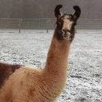 Llamas in the snow at Blue Bell Hill.