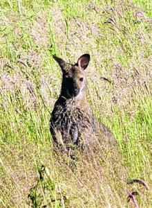 Wallaby sighting