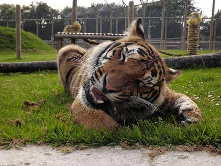 A tiger at Wingham Wildlife Park